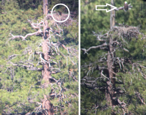 A bald eagle chick (left) and an adult bald eagle perched above its nest (right)