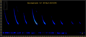 Recording of a bat echolocation call