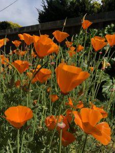 The golden poppy bloom in my garden.