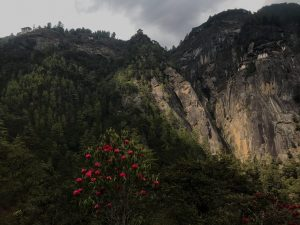 Taktsang, a monastery nestled into a cliff along with pines and rhododendrons in Paro, Bhutan.
