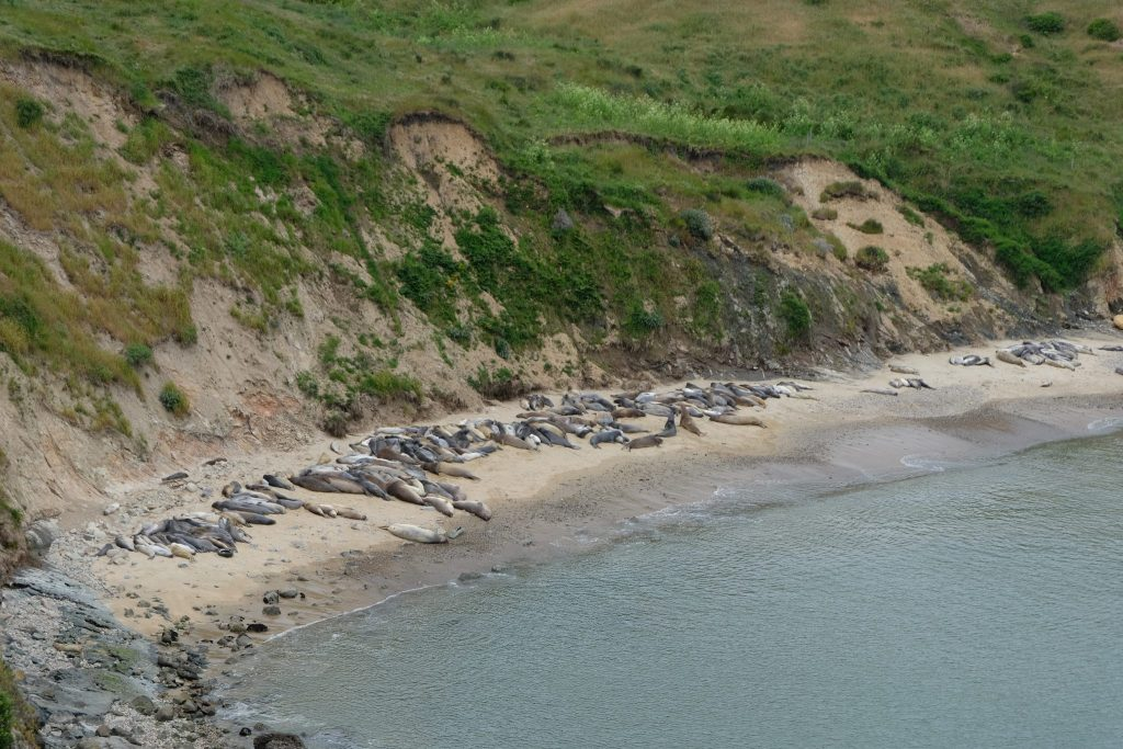 Elephant seals from the Elephant Seal Overlook