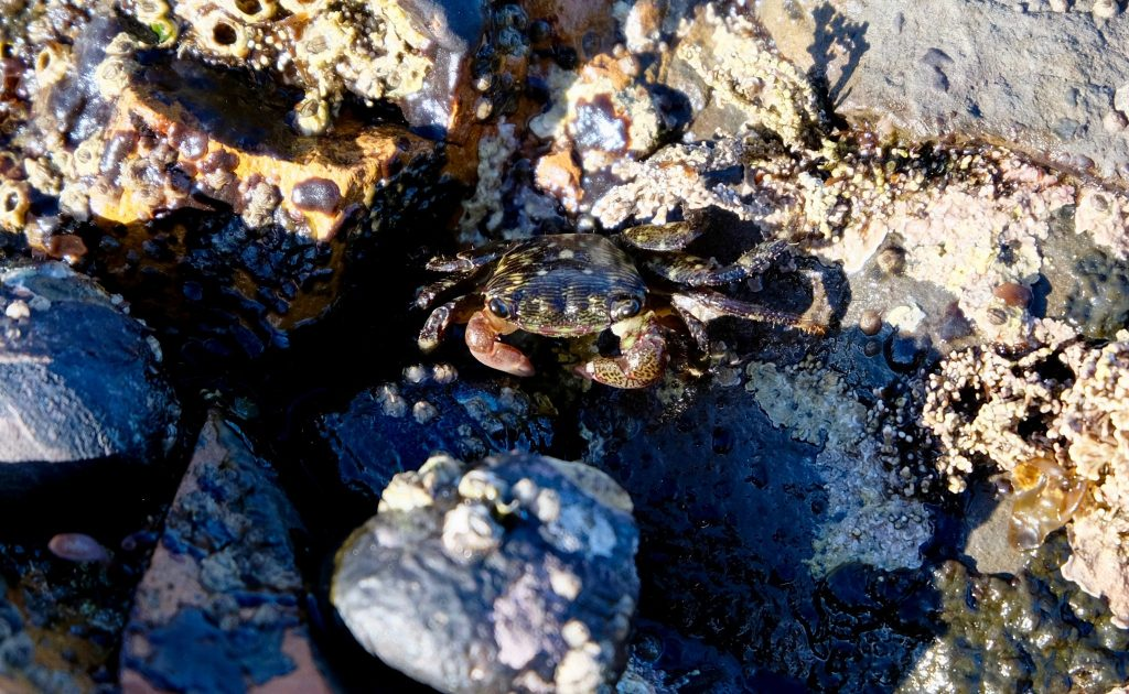 Porcelain crab (Petrolisthes sp.) at Duxbury Reef tide pools