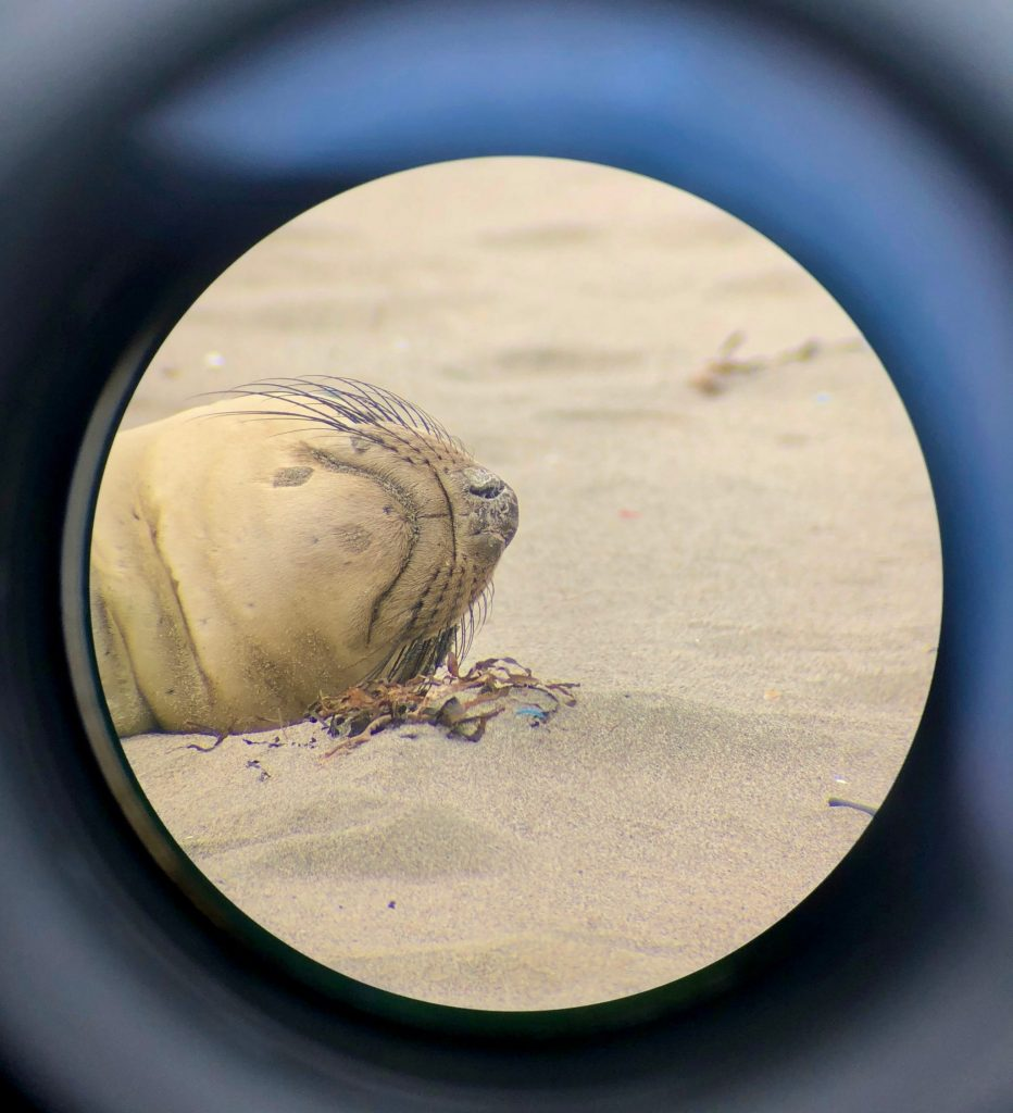 Northern elephant seal (Mirounga angustirostris) through a scope