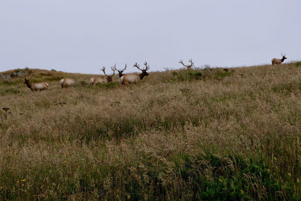 Tule Elk (Cervus canadensis nannodes) in the Tule Elk Reserve