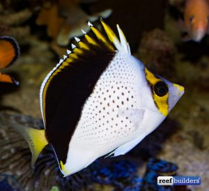 Yellow-crowned butterflyfish Image taken from https://reefbuilders.com/2012/02/07/chaetodon-tinkeri/#