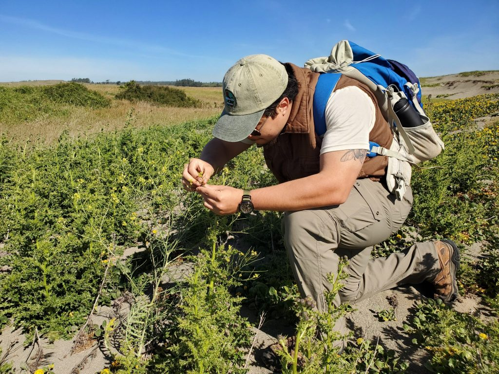 Checking one of the three host plants (Sisymbria altissimum) for butterfly eggs.