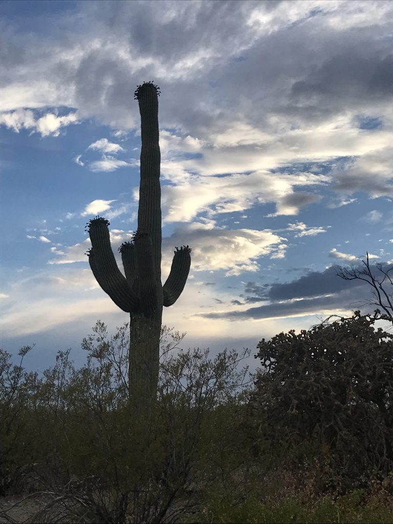 A tall saguaro right before sunset, framed by a blue sky and clouds. Five small arms sticking out of the saguaro. Saguaro surrounded by small, green bushes.
