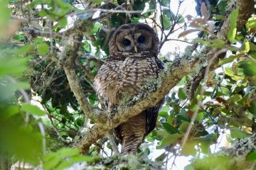 Northern Spotted Owl (Photo by Kevin García López)
