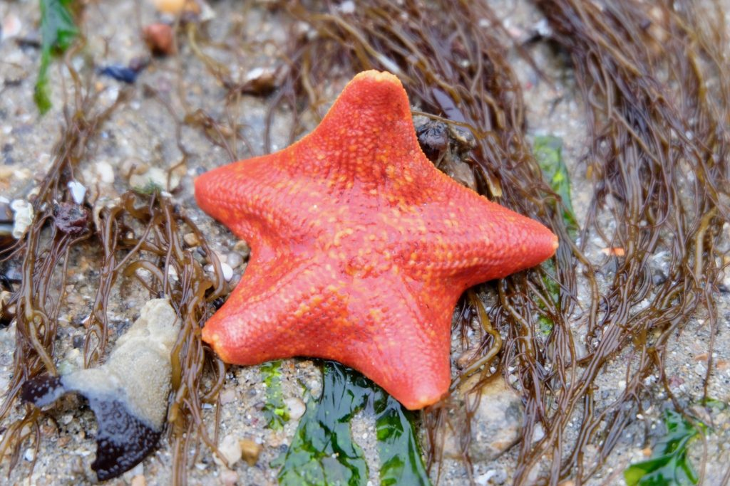 Bat star (Patiria miniata) (Photo by Diego Morales).