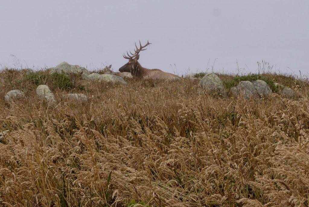 Tule elk with antlers (Photo by Diego Morales).