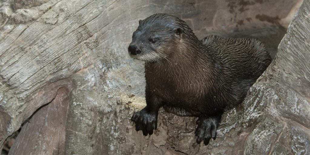 North American river otter (Photo from Smithsonian National Zoo).