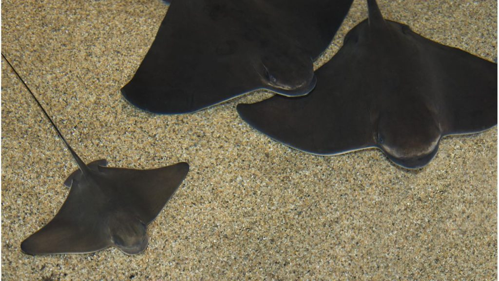 Bat ray (Photo from Monterey Bay Aquarium).