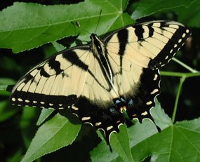 The Tiger Swallowtail Butterfly is one of many types of butterflies that ca be found in Vicksburg.