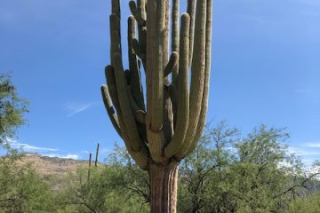 Saguaro at Saguaro National Park