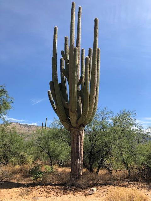 Saguaro at Saguaro National Park